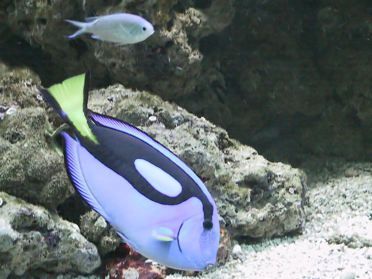 Acquario tropicale di siracusa wikipedia for Pesci per acquario tropicale