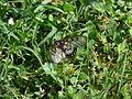 Acraea andromacha (5199798685).jpg