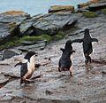 Adélie Penguin chicks chase an adult for food (5917157665).jpg
