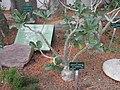 Adenium obesum (Jardin des Plantes de Paris).jpg