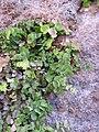 Adiantum capillus-veneris Djibouti.jpg