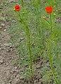 Adonis aestivalis plant (14).jpeg