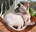 Adult cat Sphynx. img 002.jpg