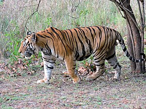 Adult male Royal Bengal tiger.jpg