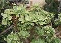 Aeonium valverdense 03.jpg