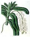 Aerides odoratum (as Aerides cornutum) - Edwards vol 18 pl 1485 (1832).jpg