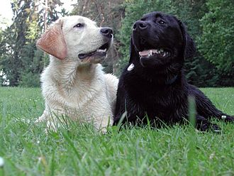Labrador Retriever coat colour genetics - Labradors with the recessive (ee) and dominant (EE, Ee) phenotypes for the expression of eumelanin pigment in the fur.