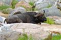 African Buffalo (Syncerus caffer) (15835256544).jpg