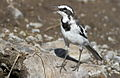 African Pied Wagtail, Motacilla aguimp in Kruger National Park (12147975614).jpg