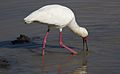African Spoonbill, Platalea alba, at Pilanesberg National Park, Northwest Province, South Africa (28663383461).jpg
