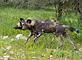 African Wild Dogs (Lycaon pictus) under the rain (13984621336).jpg