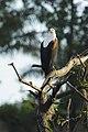 African fish eagle (Haliaeetus vocifer) 03.jpg