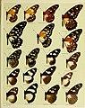 African mimetic butterflies (19575349622).jpg