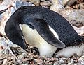 Afternoon landing (-5) on Gourdin Island just of the N tip of the Antarctic Peninsula - more Aselie Penguins (Pygoscelis adeliae) nesting with young - (25368337674).jpg