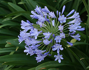 An Agapanthus flower arrangement after most of the flowers have bloomed.