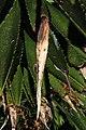 Agave decipiens, Victoria Esplanade Park (5).jpg
