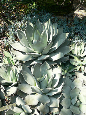 Agave parryi.jpg
