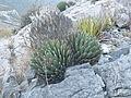 Agave victoriae-reginae (5664028334).jpg
