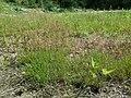 Agrostis stolonifera sl11.jpg