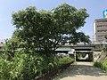 Ailanthus altissima 20190823.jpg