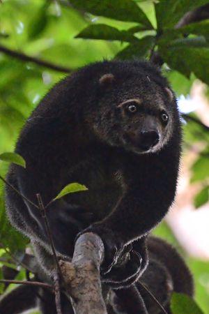 Sulawesi bear cuscus - Image: Ailurops ursinus (1)