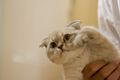 Aimee says hi (Scottish Fold).jpg