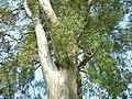 Albania Eucalyptus at Butrint.jpg