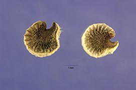 Alcea rosea seeds.jpg