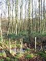Alders growing beside the path - geograph.org.uk - 1053628.jpg