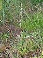 Aletris spicata.jpg