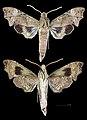 Aleuron neglectum MHNT CUT 2010 0 144 French Guiana male.jpg