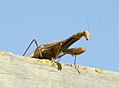 Alien - mantis religiosa en su mirador 03 - European Praying mantis (260011403).jpg