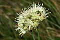 Allium ericetorum n5.JPG