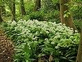 Allium ursinum 02.JPG