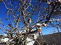 Almond Flower.JPG