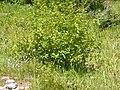 Alnus viridis (4996705941).jpg