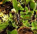 Alopecosa albofasciata 2601.jpg