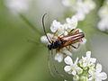 Alosterna tabacicolor (Cerambycidae- Lepturinae) (10491402255).jpg