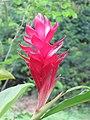 Alpinia purpurata - Red Ginger from Peravoor (4).jpg