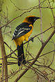 Altamira Oriole - Texas - USA H8O3744 (23863220606).jpg