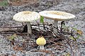 Amanita muscaria var. guessowii - Beech Forest, Cape Cod National Seashore - 2014-10-04 - image 8.jpg