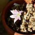 Amaryllis belladonna-IMG 9473.jpg