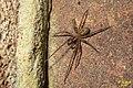 Amaurobius fenestralis (FG) (32195401753).jpg