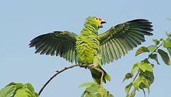 Amazona autumnalis -Belize -open wings-8.jpg