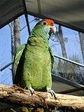 Amazona rhodocorytha -RSCF-6.jpg