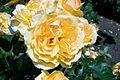 Amber Queen (4510450771).jpg