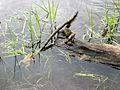 American Toads (Bufo americanus) - Flickr - Jay Sturner.jpg