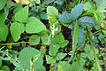 Amphicarpaea bracteata SCA-04721.jpg