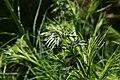 Amsonia hubrichtii 5zz.jpg