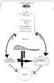 Amyloidogenic cascade.png